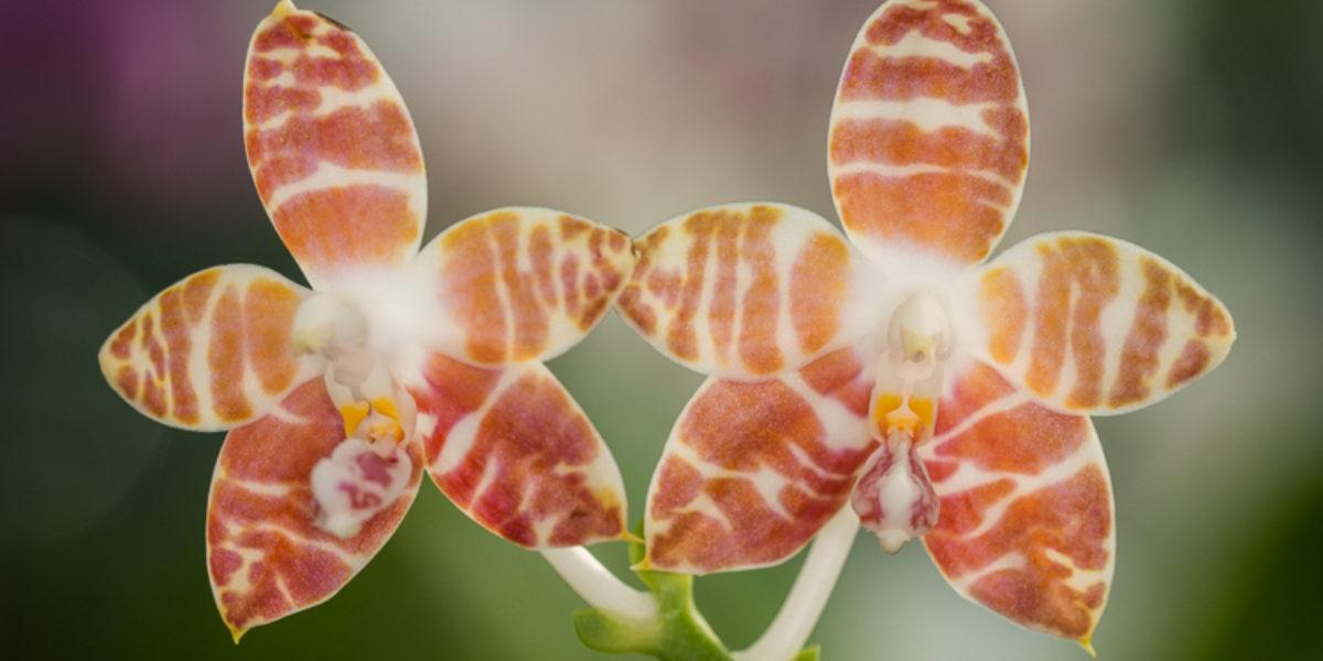 Orchideje v Brněnské Botanické zahradě