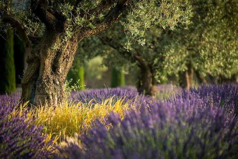 Levandulové pole v Provence