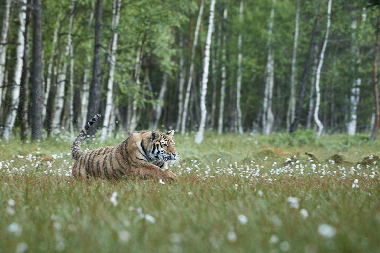 Tygr ussurijský na jarní Vysočině