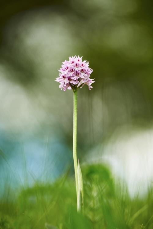 Orchideje Bílých Karpat (2016-05-15)