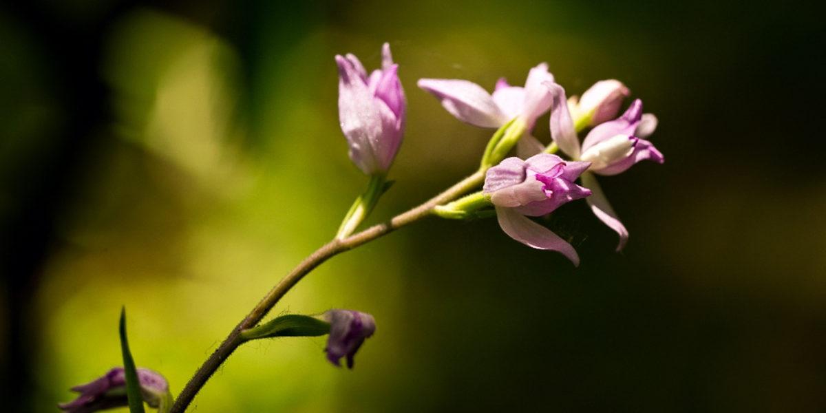Orchideje Bílých Karpat (2015_06_21)