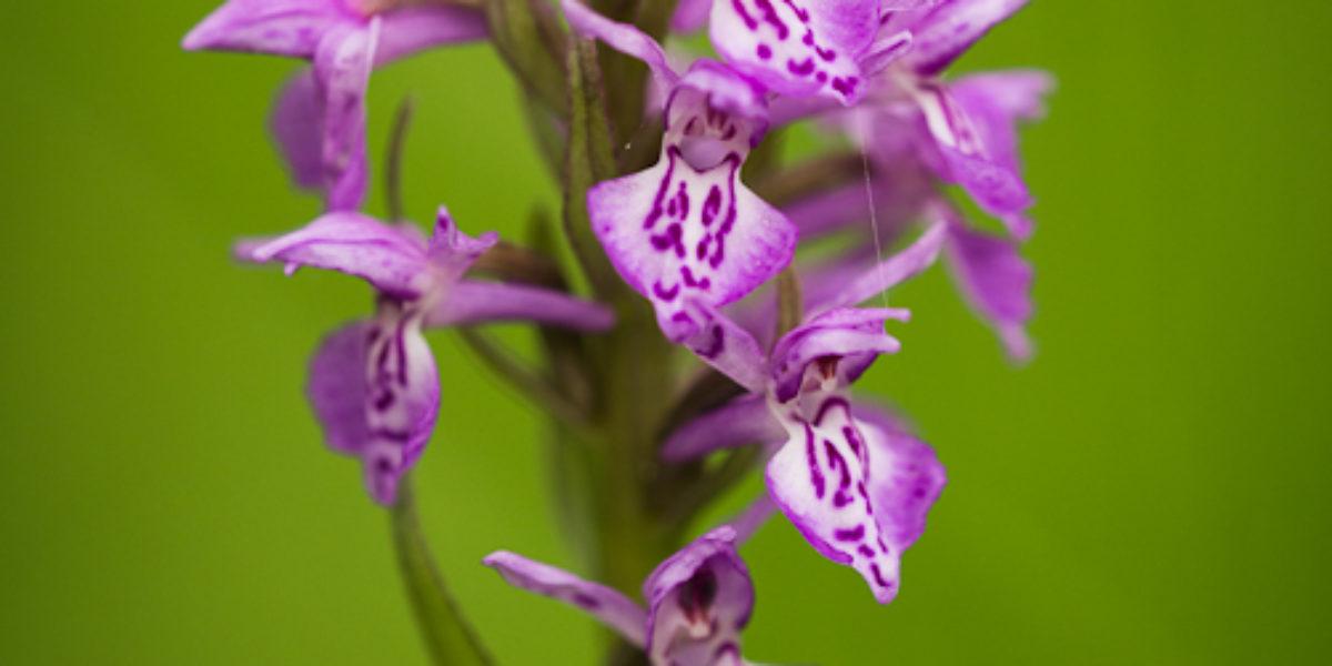 Orchideje Bílých Karpat